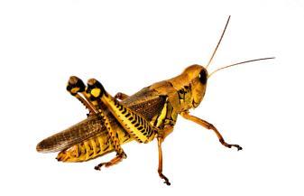 grasshopper-i-gary-adkins10