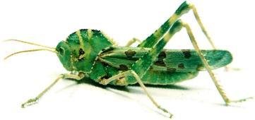 grasshopper5