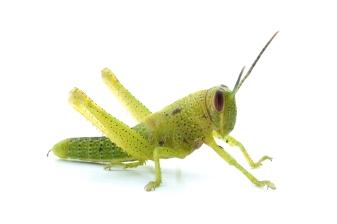 grasshopper_01_sm